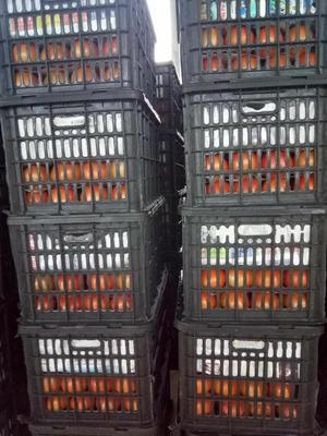 四川省攀枝花市米易县硬粉番茄 通货 弧三以上 硬粉