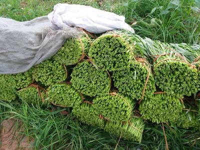 广西壮族自治区玉林市博白县白梗空心菜 25 ~ 30cm
