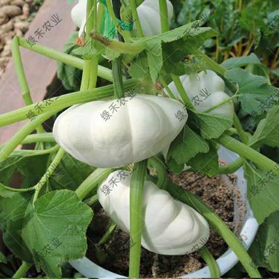 这是一张关于飞碟瓜南瓜种子 85% 的产品图片