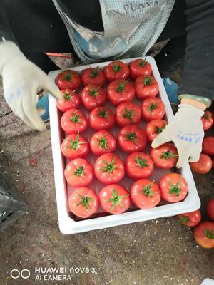 内蒙古自治区赤峰市宁城县欧盾番茄 精品 弧三以上 硬粉