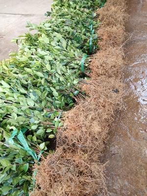 这是一张关于油茶苗 的产品图片