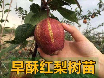 这是一张关于早酥红梨苗 0.5~1米 的产品图片