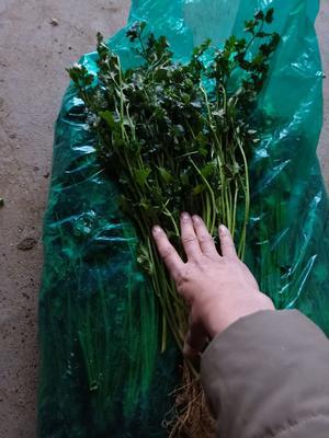 山东省临沂市河东区大叶香菜 30~35cm