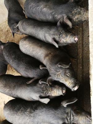 广西壮族自治区南宁市兴宁区黑土猪 200-300斤