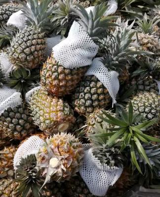 福建省漳州市平和县海南菠萝 1.5 - 2斤