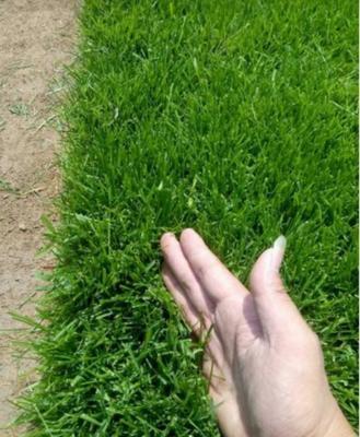 江苏省宿迁市沭阳县早熟禾草坪  草坪种子