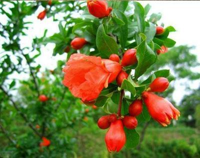这是一张关于红宝石石榴苗 的产品图片