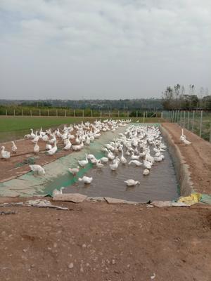 陕西省宝鸡市金台区肉鹅 10-12斤 统货 半圈养半散养 纯粮喂养180天!