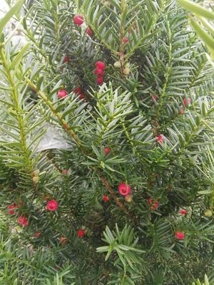 这是一张关于东北红豆杉 1~1.5米 的产品图片