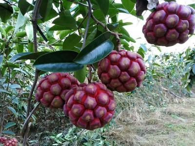 这是一张关于粉红黑老虎苗 的产品图片