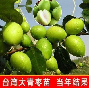 这是一张关于台湾大青枣苗 苗圃直销 当年挂果的产品图片