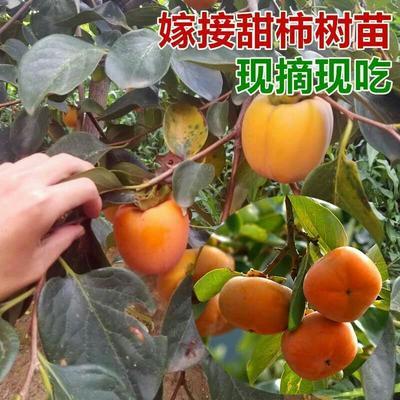 这是一张关于脆柿苗 无核脆甜柿苗自然脱涩的产品图片