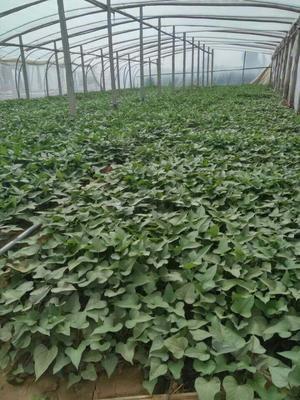 河北省邯郸市临漳县西瓜红红薯苗 25~35cm