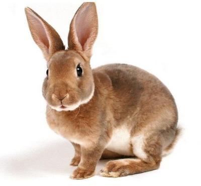 山东省济宁市嘉祥县獭兔种兔 5斤以上