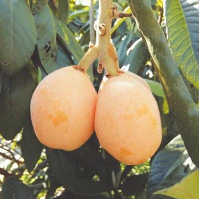 这是一张关于白沙枇杷苗 的产品图片