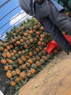 云南省昆明市东川区香水菠萝 1 - 1.5斤