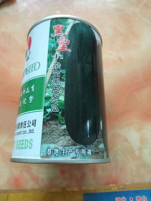 河北省邢台市隆尧县黑皮冬瓜 20~30斤 地冬瓜