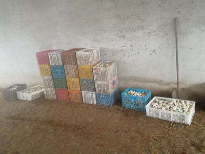 这是一张关于野鸭苗 的产品图片