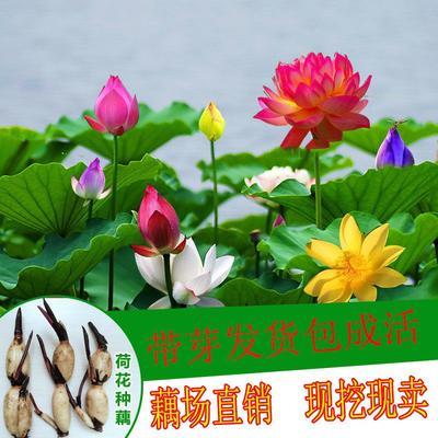 这是一张关于南斯拉夫雪莲藕种 水洗藕 的产品图片