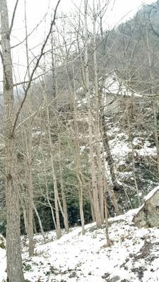陕西省汉中市勉县银杏实生树