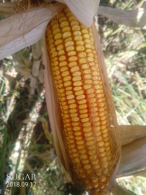 内蒙古自治区呼伦贝尔市阿荣旗玉米湿粮 杂质很少 水份14%-16%