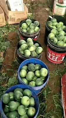 河北省唐山市乐亭县绿宝甜瓜 0.5斤以上
