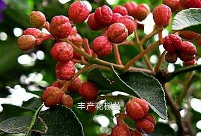 山东省临沂市平邑县红花椒苗