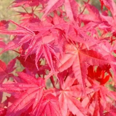 这是一张关于日本红枫红舞姬 的产品图片