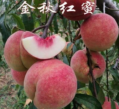 这是一张关于金秋红蜜桃苗 0.5~1米 的产品图片