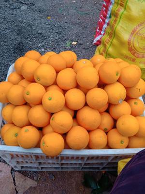 这是一张关于麻阳冰糖橙 55 - 60mm 4两以下 的产品图片