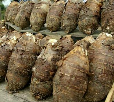 云南省西双版纳傣族自治州勐腊县香芋 6cm以上