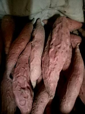 河北省保定市雄县烟薯25 1斤~1.5斤 红皮