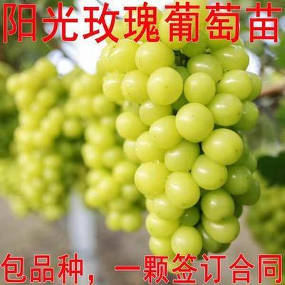 这是一张关于阳光玫瑰葡萄苗 的产品图片
