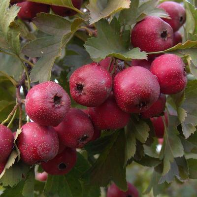 这是一张关于大金星山楂树苗 的产品图片