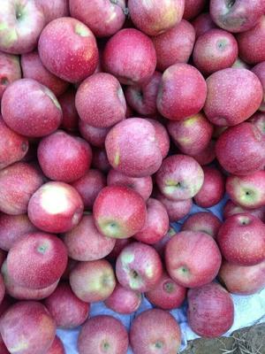 河北省石家庄市新华区红香蕉苹果 70mm以上 统货 纸袋