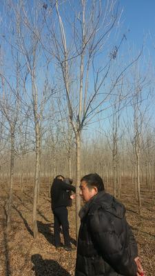山东省济宁市任城区速生白蜡 5米以上