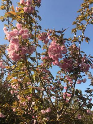陕西省宝鸡市渭滨区日本红叶樱花 1.5~2米 6~8公分
