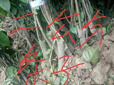 四川省宜宾市翠屏区大红三角梅 1.5~2米