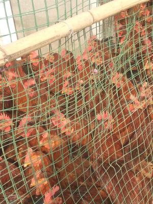 这是一张关于土杂鸡 5-6斤 统货 的产品图片