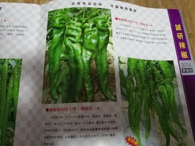 安徽省宿州市埇桥区螺丝辣椒苗 10~14片真叶