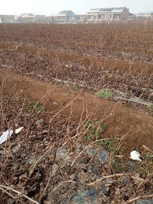 这是一张关于户太八号葡萄苗 的产品图片