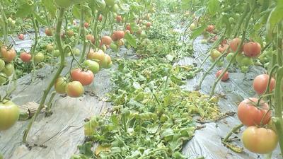 河南省开封市祥符区硬粉番茄 通货 弧三以上 硬粉