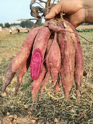 这是一张关于济薯26号红薯苗 25~35cm 的产品图片