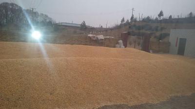 陕西省榆林市榆阳区玉米干粮 净货 水份<14%