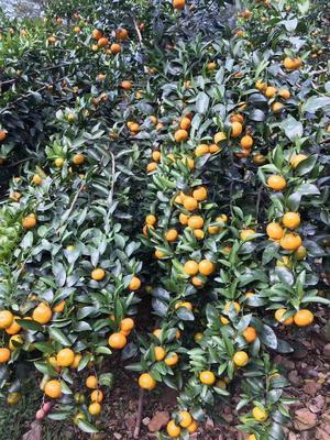 这是一张关于广东金葵砂糖橘苗 嫁接苗 0.2米以下 的产品图片
