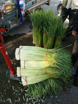 江苏省徐州市丰县白帽蒜薹 60~70cm