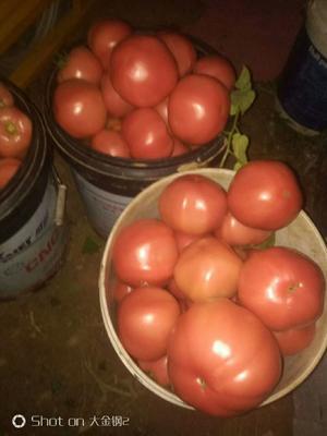 安徽省宿州市埇桥区硬粉番茄苗 六叶一心