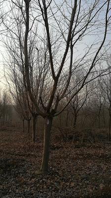 安徽省滁州市定远县日本早樱 3.5米~5米 14~16公分