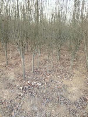山东省泰安市泰山区西府海棠 自己苗木货优