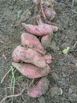 广西壮族自治区柳州市柳南区栗子香红薯 混装通货 红皮
